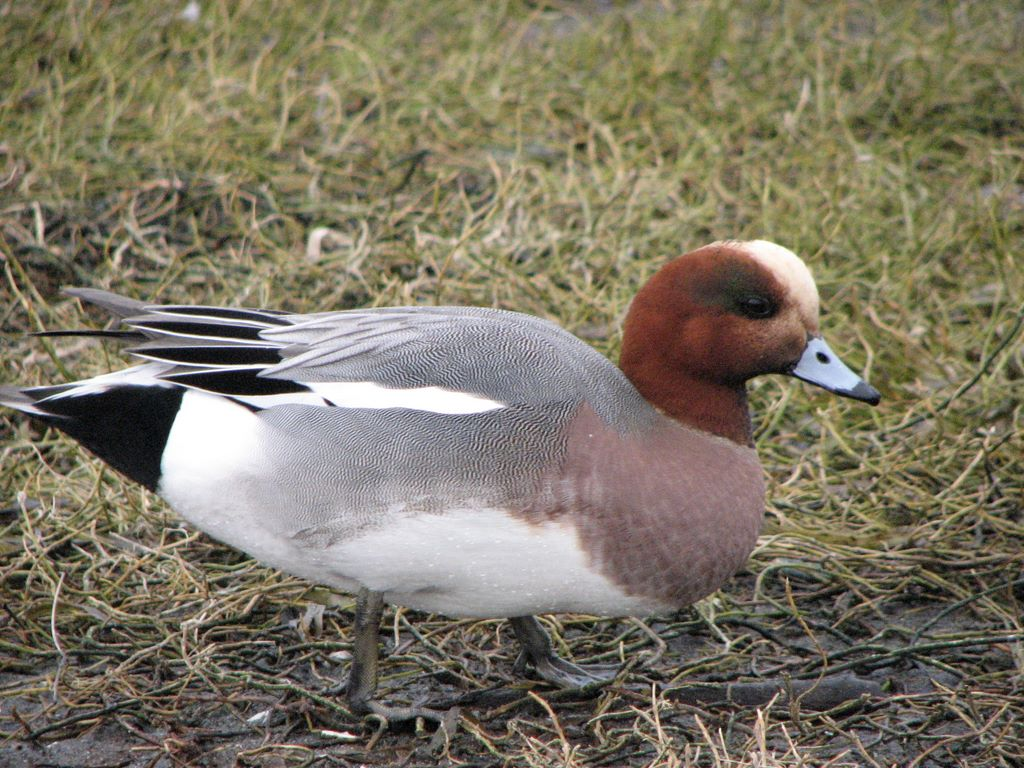 eurasian wigeon male3 (A) MMP activity (mean (SEM)) in SF of normal juvenile, normal adult, ...